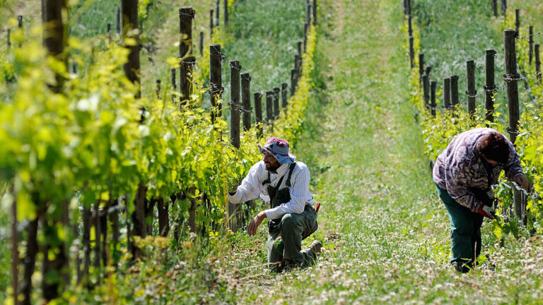 HANDS are the only machinery used for the care of the vines