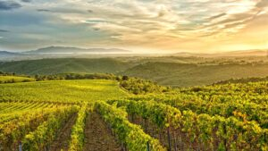 Southern Tuscany landscape of Morellino vineyards overlooking the Mediterranean sea
