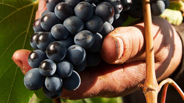 WS TOP 100 Sangiovese based wines are harvested BY HAND