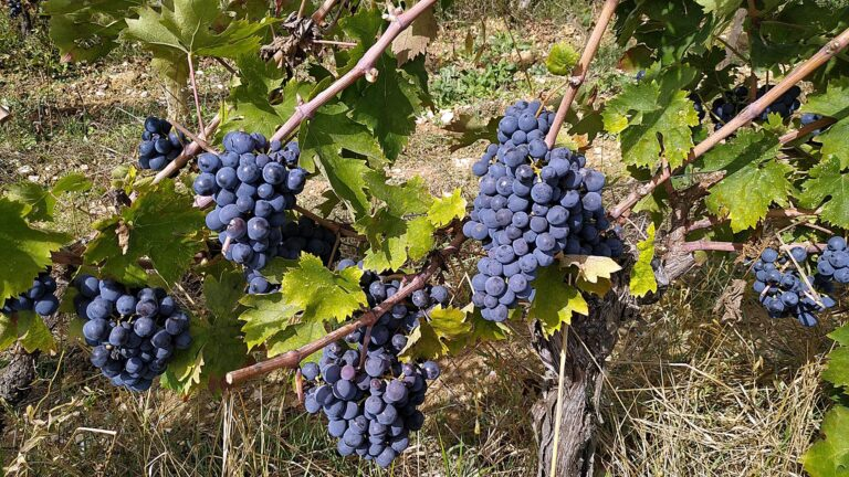 Best Italian wines startup point - Marvellous Sangiovese grapes ready to harvest