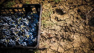 Harvest of Syrah grapes and the dry clay soil of the vineyard in central-southern Tuscany