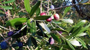 Olives ready to be harvested in a Chianti olive grove