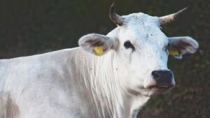 The finest Tuscan meat comes from Chianina calf