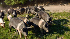 Tuscan Cinta Senese pigs - always raised only in the wild in the woods