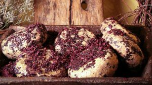 Tuscan Pecorino CHEESE refined in Tuscan wine pomace (grapes skins e seeds after wine extration)