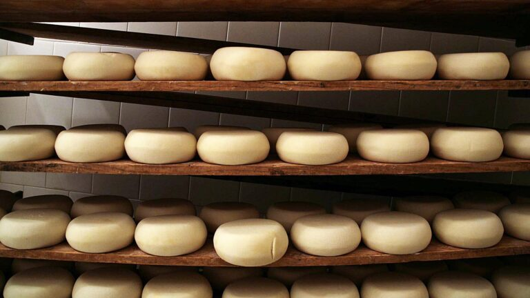Very first stage of maturation for one of Silvana Cugusi's super-awarded Pecorino cheese