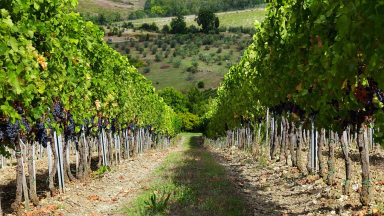 Truffle Hunting and wine pairing lunch in the middle of the Chianti vineyards at Ruffino