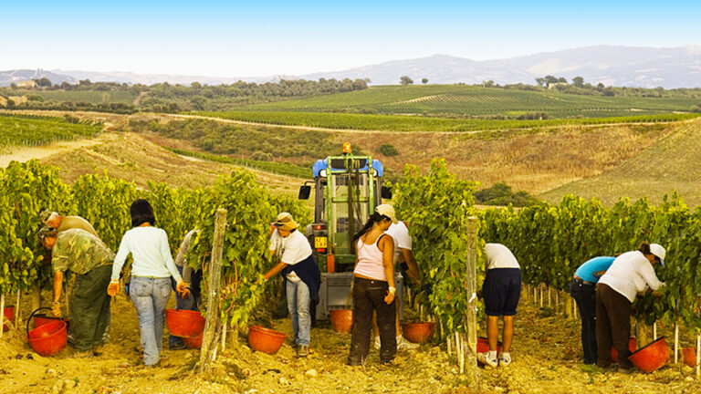 BEST WINE IN THE WORLD - The Making Of - HAND-picked grape harvest