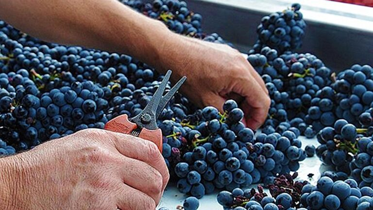 EXTREME QUALITY - Our experts select the individual grapes BY HAND