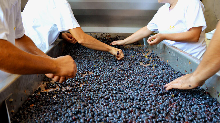 For Altesino's Brunello every single grape is selected by hand